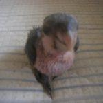 ズグロシロハラインコ抱卵しています