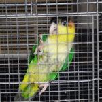 グリーンタイツシロハラインコ繁殖