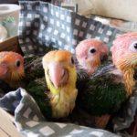 シロハラインコ雛3羽募集します